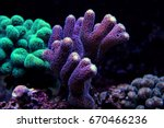 Small photo of Stylophora Coral (Stylophora sp.)