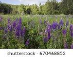 flower field with purple lupine ... | Shutterstock . vector #670468852