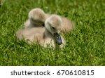 Two Siblings Baby Little Swan...