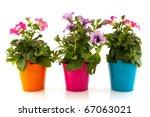 colorful garden petunia plants...   Shutterstock . vector #67063021