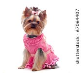 Stock photo portrait of a cute yorkshire terrier in pink dress 67064407
