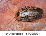 tropical cockroaches on a tree... | Shutterstock . vector #67065034