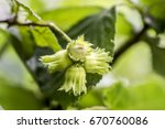 Small photo of Hazelnut is the nut of the hazel and therefore, includes any of the nuts deriving from species of the genus Corylus, especially the nuts of the species Corylus avellan