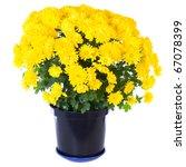 Beautiful Yellow Chrysanthemum...