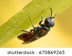 Cuckoo Wasp. It Is A Parasitic...