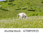 cow eats and defecate on... | Shutterstock . vector #670893925