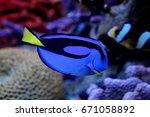 Blue Tang Paracanthurus Hepatu...