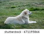 Mountain Dog Resting In Grass...