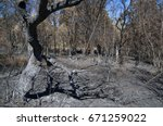 Small photo of Olive tree burnt, broken down and hollowed by forest fire. Forest nearby. Pedrogao Grande, Portugal.