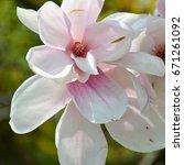 magnolia flowers | Shutterstock . vector #671261092