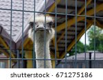 Ostrich In A Cage On The...