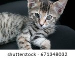 Small photo of South African wild cat