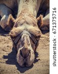 """sleeping camel"" just a camel... 