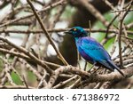 Violet Blue Bird Rueppell's...
