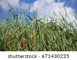 Thick Growth Reeds Cat Tails...