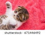 Stock photo scottish fold beautiful kitten playing on pink furr background 671446492