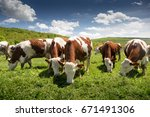 Dairy Cows Graze Green Grass I...