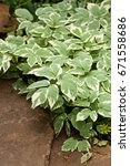 Small photo of Perennial ground cover ornamental plant Aegopodium podagraria Variegata with beautiful green-white leaves. Selective focus.