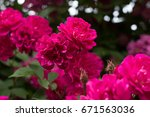 Bright Pink Rose On The Green...