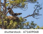 Bald Eagle Chick  Haliaeetus...