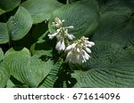 Blooming Hosta