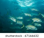A School Of Crevalle Jacks...