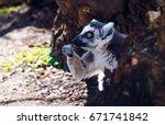 ring tailed lemur  lemur catta  | Shutterstock . vector #671741842
