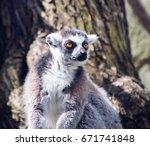 ring tailed lemur  lemur catta  | Shutterstock . vector #671741848