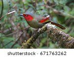 red faced liocichla liocichla... | Shutterstock . vector #671763262
