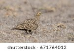 Small photo of Sandgrouse male