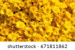 Yellow chrysanthemums daisy...