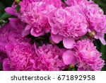 pink peonies in the garden.... | Shutterstock . vector #671892958