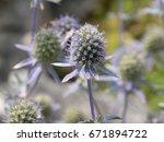 Close Up Of Sea Holly Blue...
