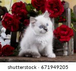 Stock photo kitten breed ragdoll 671949205