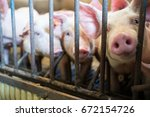 piglets against the bars in a... | Shutterstock . vector #672154726
