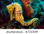 Beautiful yellow longsnout seahorse uses its tail to cling to a sponge