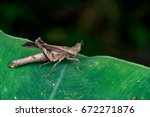 Small photo of Chocolate, brown monkey grasshopper (Arthropoda: Insecta: Orthoptera: Chorotypidae: Erianthus versicolor) stay still on the green leaf isolated wirh creamy background