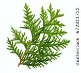 Thuja Branch Isolated On White...