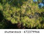Small photo of Pines of the Greek peninsula of Cassandra