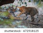 pair of wild  mating  bengal... | Shutterstock . vector #672518125