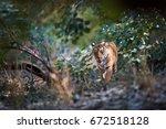 wild bengal tiger  panthera... | Shutterstock . vector #672518128