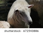 Small photo of Sheep in its banal day