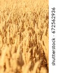 ears of wheat golden field... | Shutterstock . vector #672562936