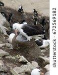 Small photo of New Island Falkland Island, Black-brow albatross with fledgling