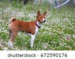 basenji dog in the park.... | Shutterstock . vector #672590176