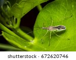 Small photo of Alydidae insect on a plant leaf