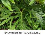 big green leaves of monstera. | Shutterstock . vector #672633262