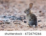 Cottontail Rabbit Standing In...