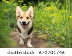 happy and active purebred welsh ... | Shutterstock . vector #672701746
