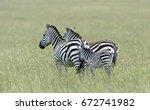 baby zebra and parents in green ...   Shutterstock . vector #672741982